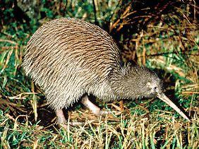 Ein ungewöhnlicher Vogel: Der Kiwi ist das Nationalsymbol Neuseelands.