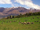 Zwölf Schafe pro Einwohner: Die großen Herden prägen - wie hier in der Nähe von Queenstwon auf der Südinsel - an vielen Stellen das Landschaftsbild in Neuseeland.