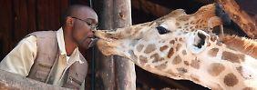 Im Giraffenzentrum in Nairobi haben die eindrucksvollen Tiere keinerlei Berührungsängste.