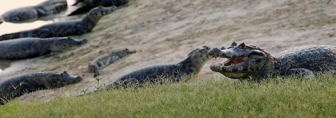 Die Auswahl ist groß: Die durchschnittliche Alligator-Dame lässt das jedoch kalt.