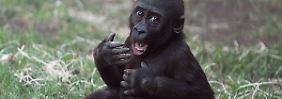Gorillas und Menschen gleichen sich mehr als gedacht.