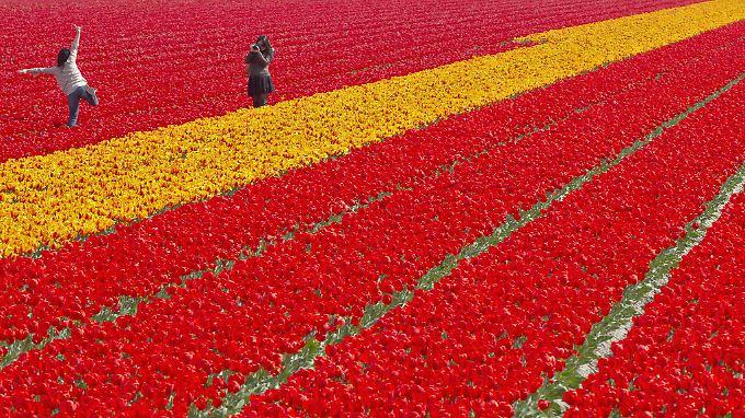 Tulpenfeld bei Lisse.