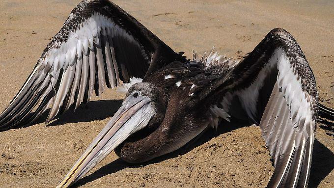 In den Mägen der Pelikane finden sich Müll und Sand.