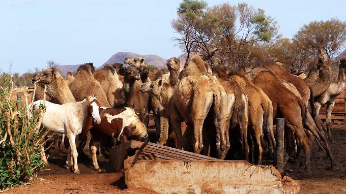 In Australien leben mehr als eine Million Kamele.