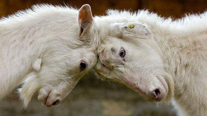 Im Jahr 2008 ist die Ziegengrippe in Deutschland bei 160 Tieren nachgewiesen worden, 2007 erkrankten 60 Tiere, 2005 waren es 109.