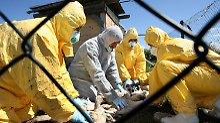 Vogelgrippewelle 2007: Zahlreiche infizierte Bestände werden getötet
