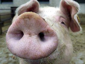 Von wegen Schwein gehabt. Für Nutztiere sieht es in Deutschland meist übel aus.