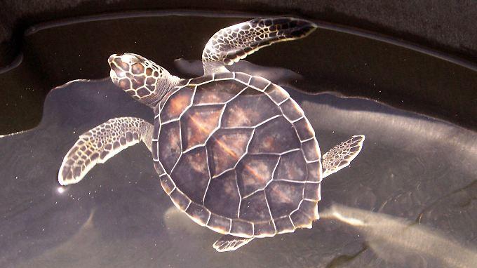Die Arbeit mit Karettschildkröten ist langwierig.