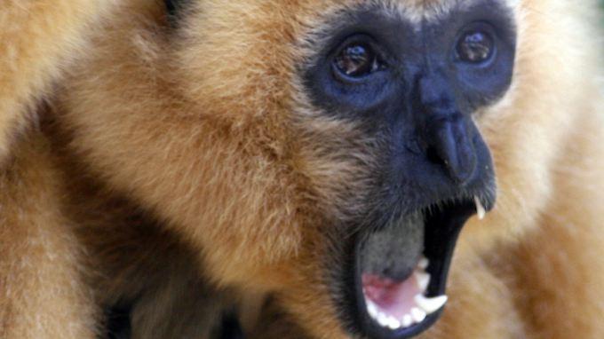 Klingt wie Katzengeschrei, hat aber die Qualität eines Sopranisten: Gibbons bewegen ihre Stimmbänder wie Profis.