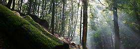 Nicht aufgeräumt, aber ökologisch wertvoll: Totholz gehört zu einem lebendigen Wald.