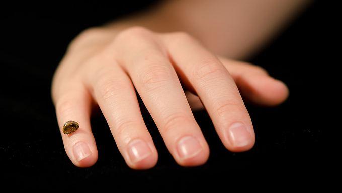 Kopie des fossilen Denisova-Fingerknochens im Vergleich zu einer menschlichen Hand.