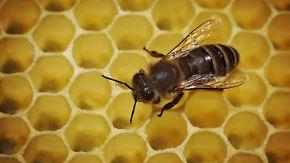 Bienen-Bestände bedroht: Forscher warnen vor schlimmen Folgen