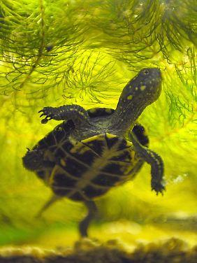 Eine Europäische Sumpfschildkröte.