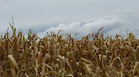 Im Jahr 2100 wird Mais in Deutschland 23 Tage früher als jetzt abgebaut.
