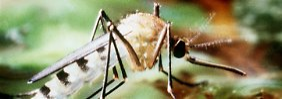 Die aggressive Asiatische Tigermücke breitet sich auch in Nordamerika und Europa aus.