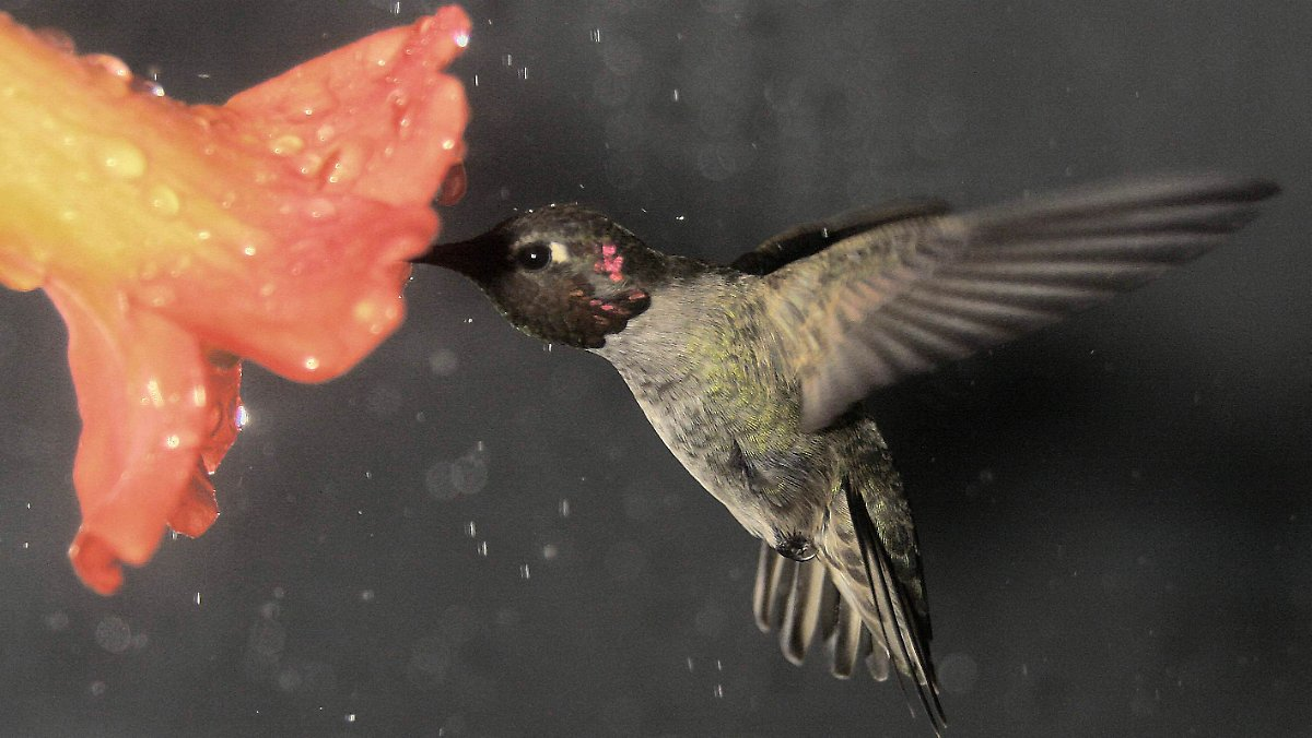 entspannte kunstflieger kolibris fliegen gern r ckw rts n. Black Bedroom Furniture Sets. Home Design Ideas