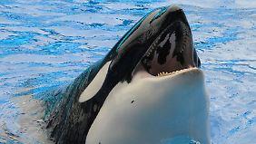 Ein Orca im Seaworld hatte die Trainerin am Zopf gepackt und unter Wasser gezogen.