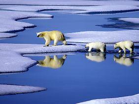 Aufgrund seiner enormen Anpassungsfähigkeit entwickelte sich der Eisbär schnell weiter.