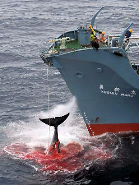 """Ein harpunierter Wal wird an Bord des japanischen Walfangschiffes """"Yushin Maru"""" gezogen, das im Atlantischen Ozean kreuzt."""