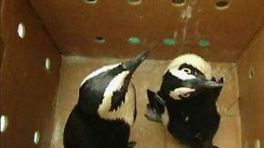 Havariertes Schiff vor Südafrika: Pinguine leiden unter der Ölpest