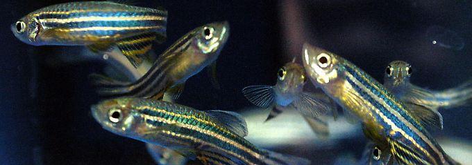 Zebrafische sind wegen der gemeinsamen evolutionären Abstammung als Modellorganismus für Menschen geeignet.