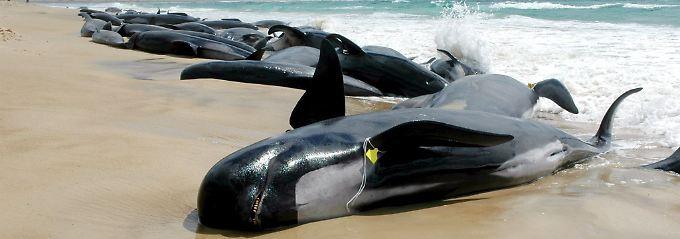 Mehr als hundert gestrandete Walen liegen in der Bucht Marion Bay im Süden von Tasmanien in Australien am Strand (Archivbild vom 26.10.2005).