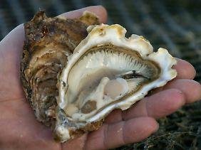 """Die Forscher wollen den Austern """"zuhören""""."""