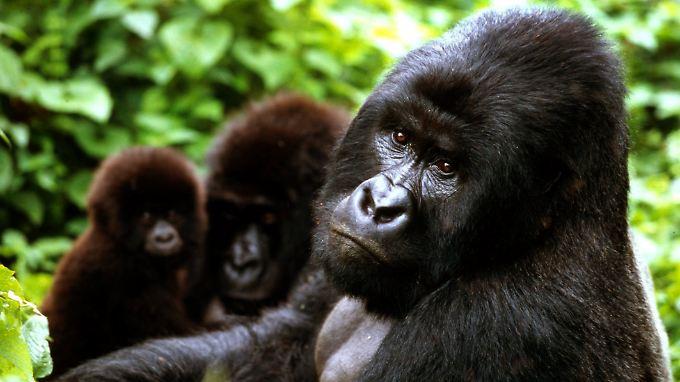 Berggorilla-Familie im Virunga-Nationalpark.