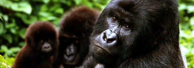 Berggorillas ähneln bisweilen dem Menschen.