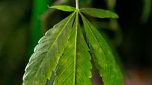 Tausende Cannabis-Pflanzen im Büro: Polizei schnappt Berliner Dealer