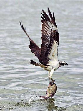 """Der Fischadler gilt als """"Charaktervogel"""" der Seenplatte - allein im Müritzkreis gibt es 58 Brutpaare."""