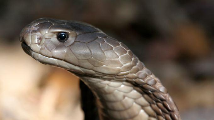 Das Gift einer Kobra lähmt das Atemzentrum und führt unbehandelt zum Herzstillstand.