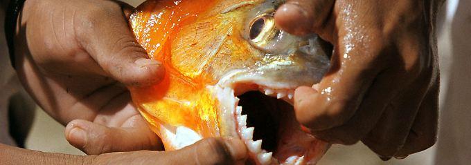 Piranhas können nicht nur gewaltig zubeißen, sie haben auch noch äußerst scharfe Zähne.