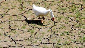 Eine Gans frisst in einem ausgetrockneten Flussbett nahe Lake Arlington in Texas.