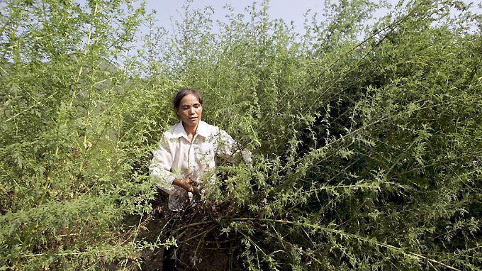 Schon im alten China wurde Artemisia zur Bekämpfung von Malaria eingesetzt.