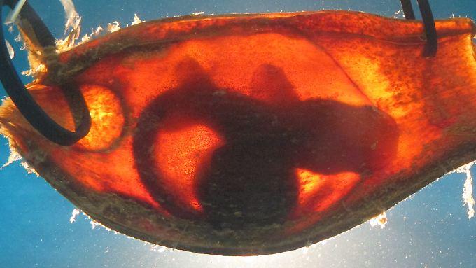 Baby-Haie in Eiern verhalten sich still und unauffällig, wenn sich Räuber den Embryonen nähern. Diese Entdeckung machten Forscher aus Australien bei Braungebänderten Bambushaien.
