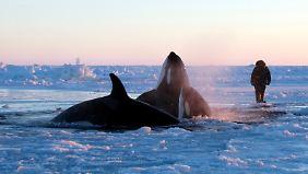 Auf dem Eis kommt man den Tieren ungewöhnlich nah.