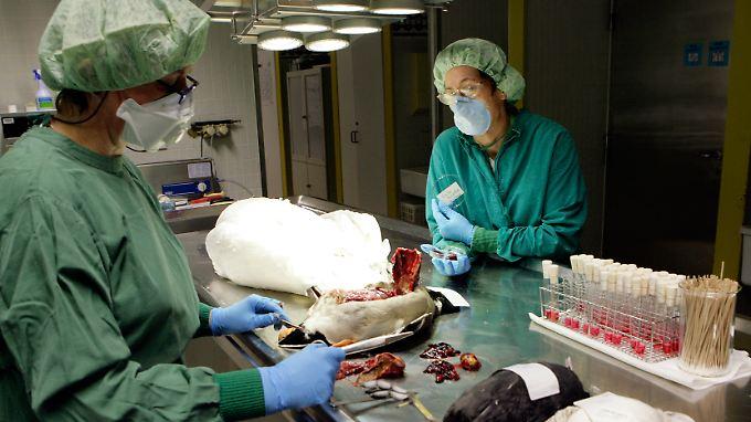 Der Vogelgrippe-Erreger ist für Menschen nicht besonders ansteckend. Kombiniert mit Teilen des Schweinegrippe-Virus jedoch wird er zur unbeherrschbaren Gefahr.