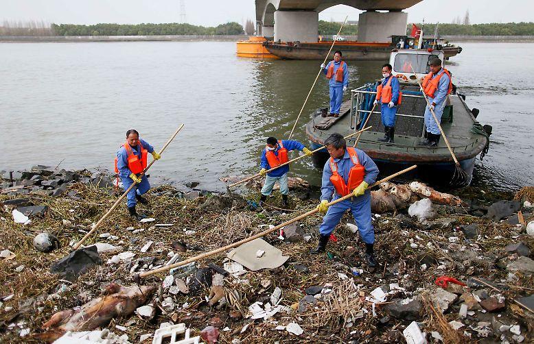 Einen Tierkadaver nach dem anderen ziehen die Einsatzkräfte aus dem Wasser des Flusses Huangpu. Über 8000 Schweine, die eigentlich für den Fleischtopf bestimmt waren, wurden in rund einer Woche aus dem Fluss geborgen, der mitten durch die Millionenmetropole Shanghai führt.