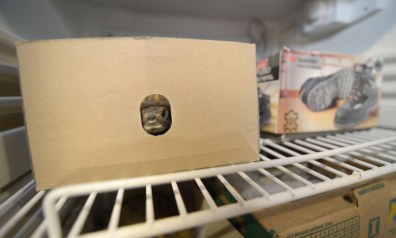 Kleiner Kühlschrank Für Schildkröten : Frage & antwort nr. 302: Überwintern schildkröten im kühlschrank
