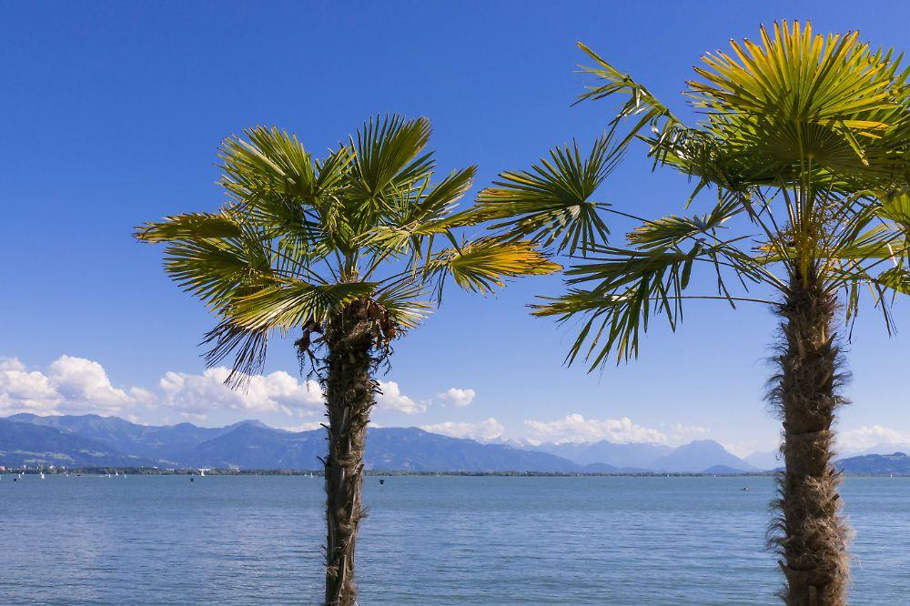 einwanderung exotischer arten palmen k nnten bald in deutschland boomen n. Black Bedroom Furniture Sets. Home Design Ideas