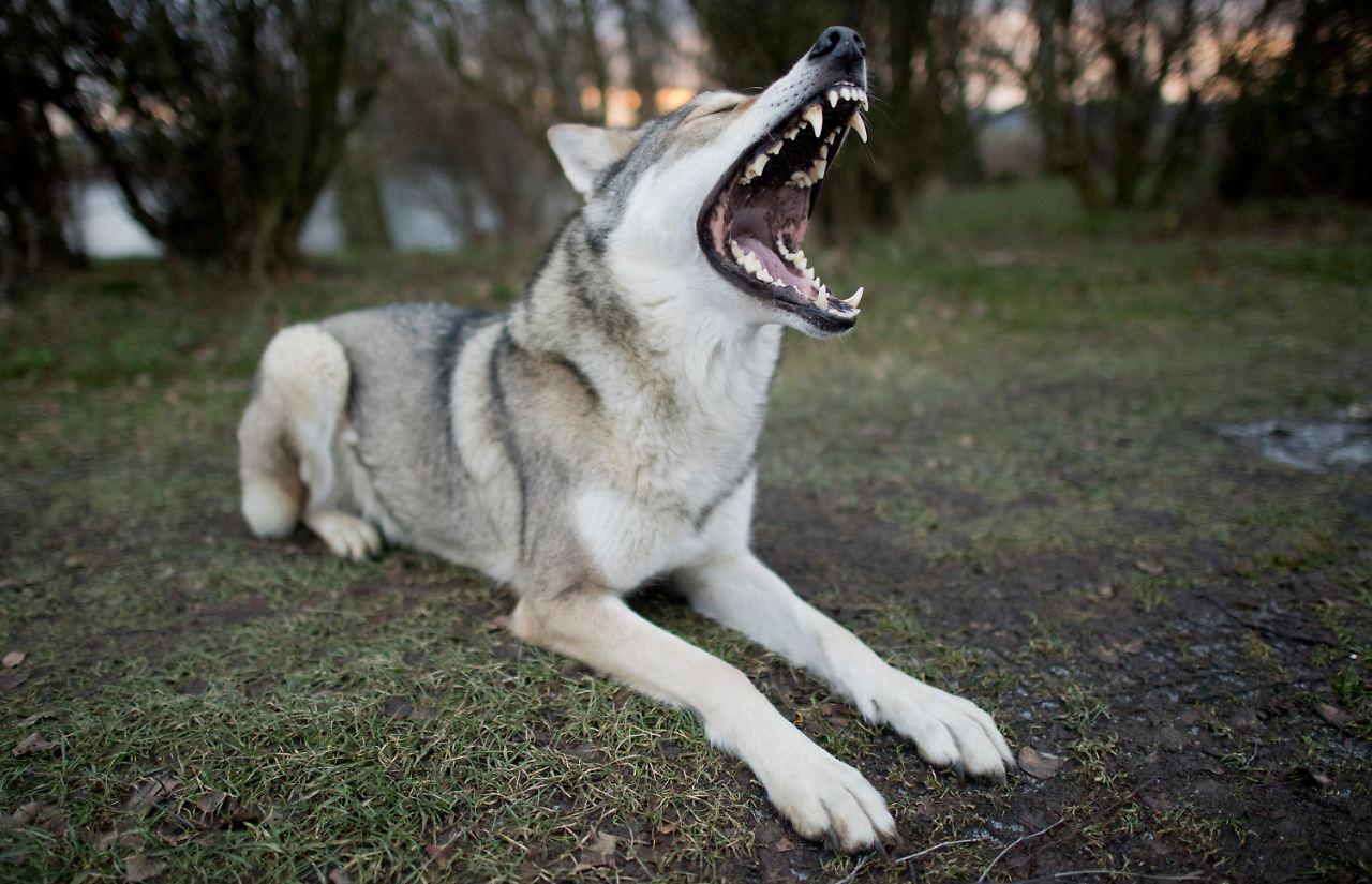 dem wolf zum verwechseln hnlich wolfshunde sorgen f r angst und aufregung n. Black Bedroom Furniture Sets. Home Design Ideas