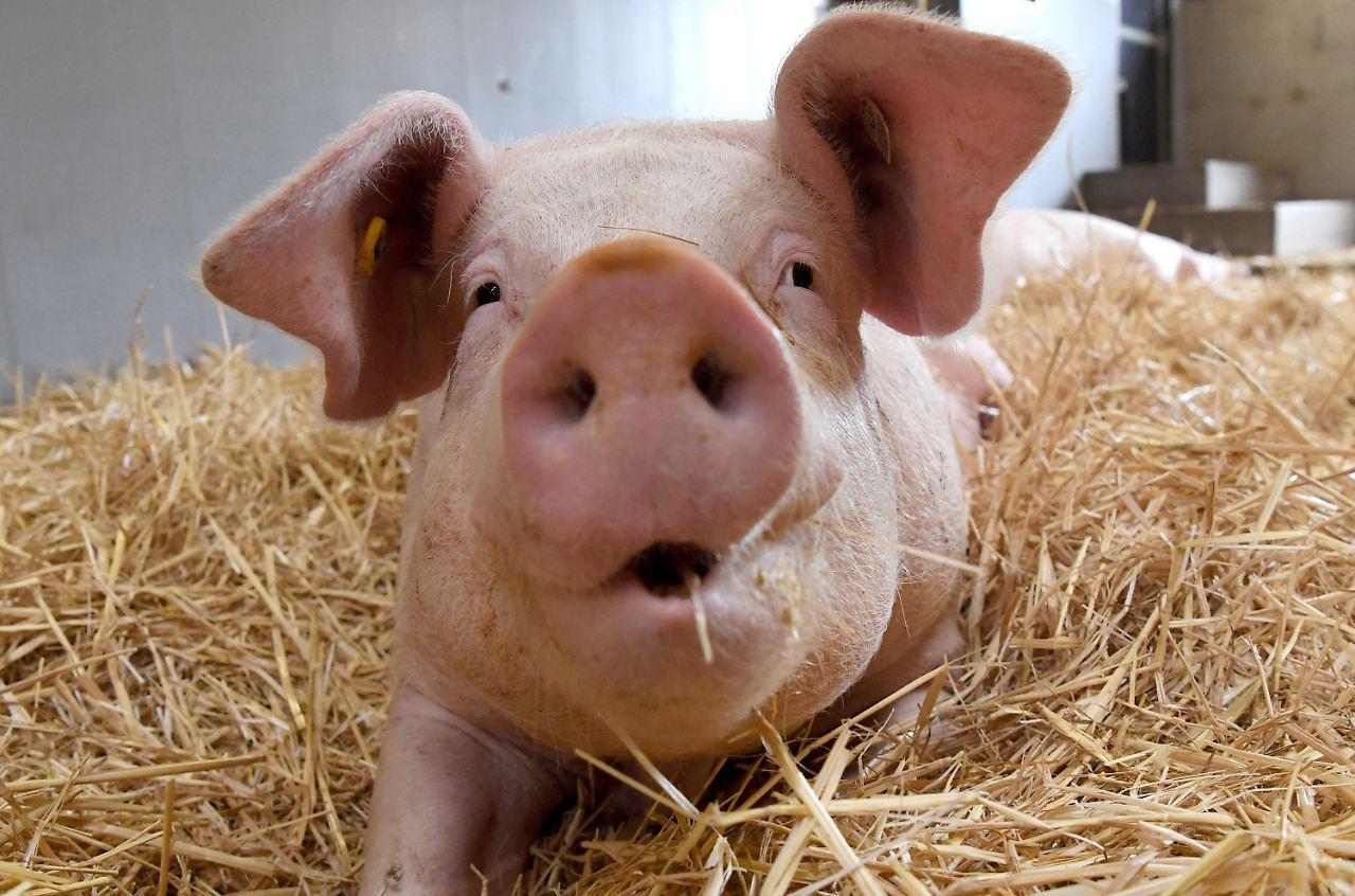 Schweinemilch