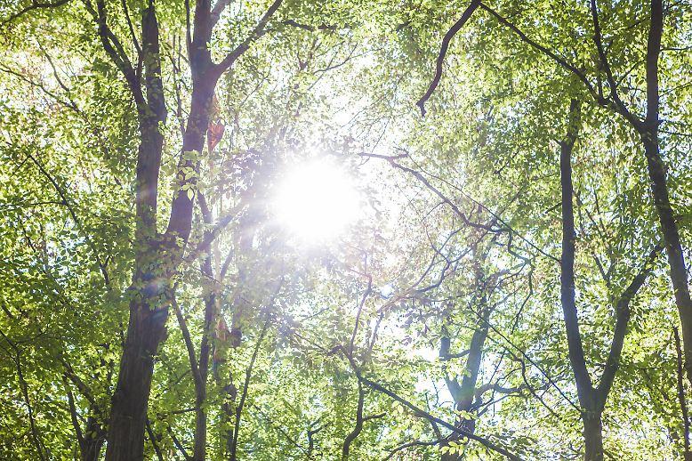 Noch erstreckt sich der Hambacher Forst in Nordrhein-Westfalen über etwa 200 Hektar.