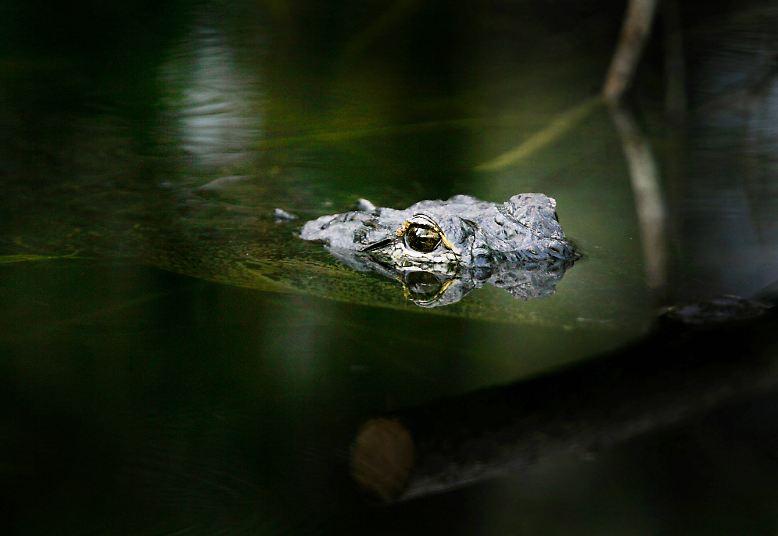 Krokodile sind faszinierende Meister der Tarnung. Die Raubtiere sind kaum sichtbar, wenn sie auf der Lauer liegen ...