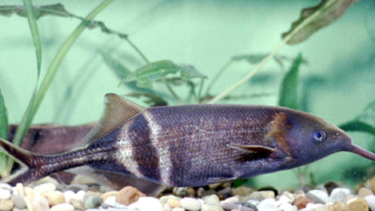 vorlage f r forscher der fisch der mit dem kinn sieht. Black Bedroom Furniture Sets. Home Design Ideas